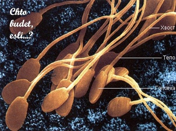 Сперматогенез сх жив